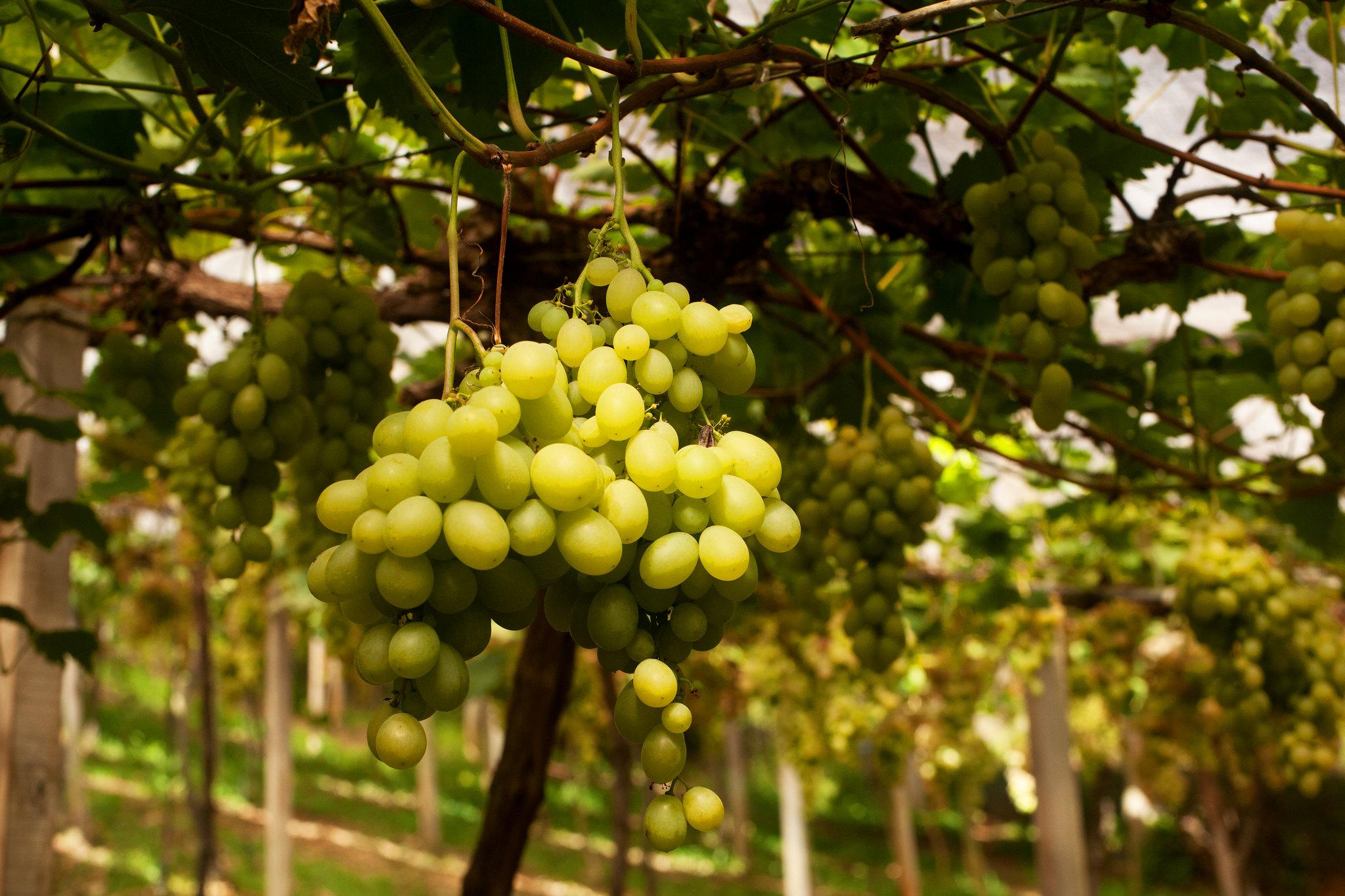 Uva e Vinho - Bento Gonçalves